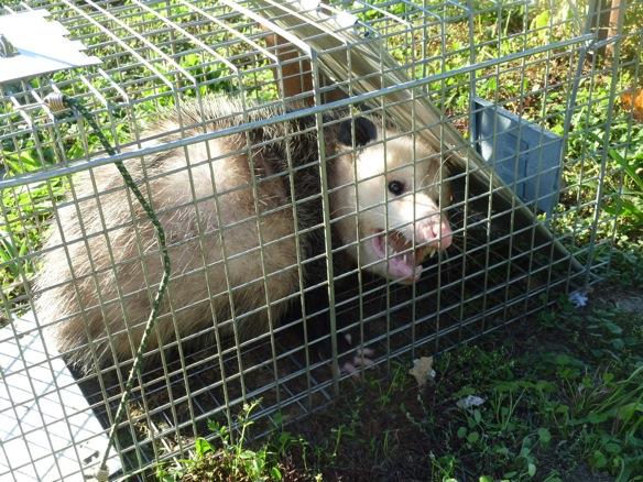 opossom 10 17 11