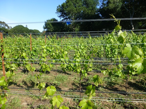 blue tape vineyard