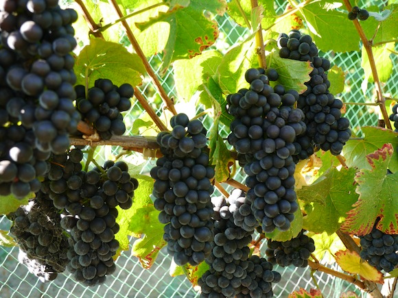 9-6-2013 pinot clusters