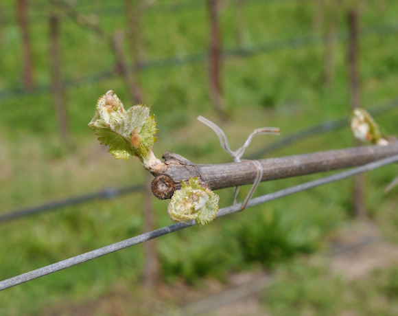 Bud Break 2015