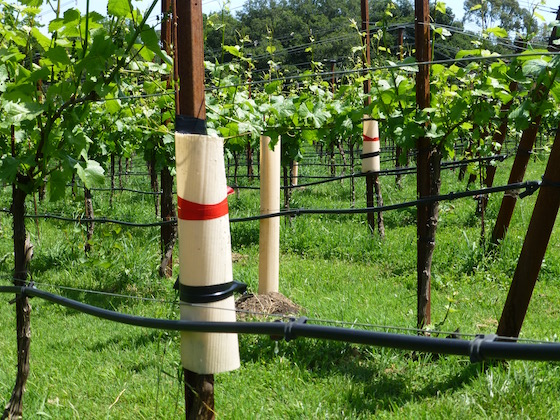 vineyard with grafts and replant